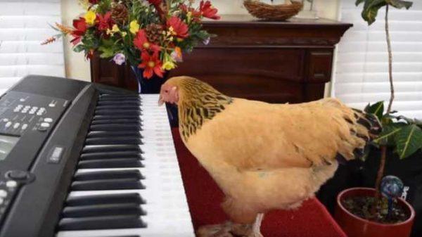 Amerikada yashovchi tovuq pianino chalishni biladi. Hatto uning tovuqlardan iborat o'z ansambli bor…