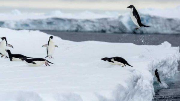 Pingvin qushmi yoki baliqmi?