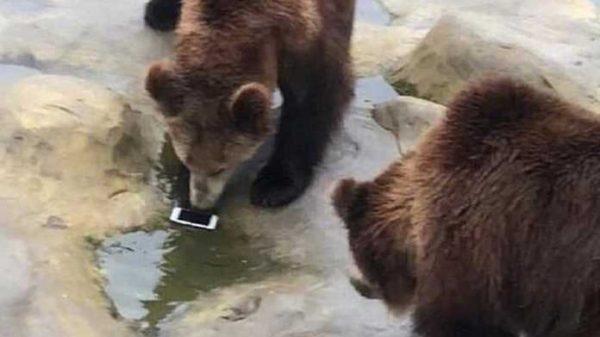 """Sayyoh qo'lidagi """"iPhone""""ni ayiqqa otdi. Essiz telefon!"""
