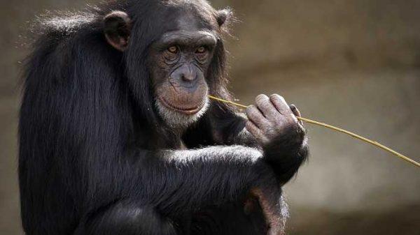 2 yoshli odam bolasining imo-ishoralari shimpanzeniki bilan bir xil ekan!