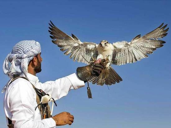 Saudiya Arabistonida lochin rekord narxda sotildi