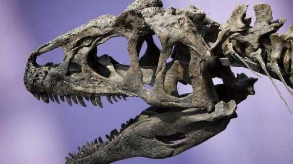 Tirannozavr skeleti rekord narxga sotildi
