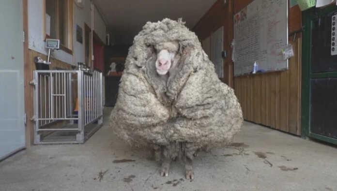 Daxshat! Avstraliyada qo'ydan 35 kilo jun olindi… (+videofakt)