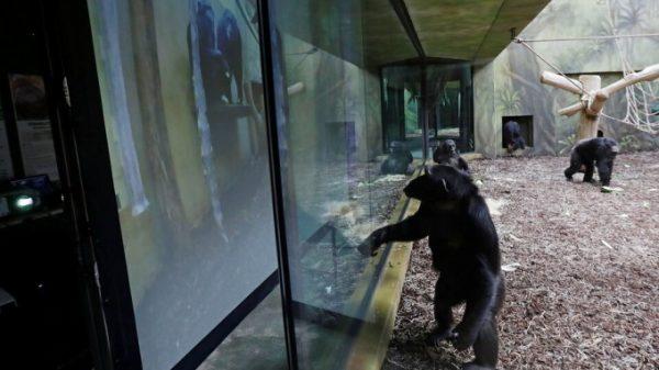 Chexiyada ikkita turli hayvonot bog'idagi shimpanzelar zerikmasligi uchun ularga videoaloqa o'rnatib berildi